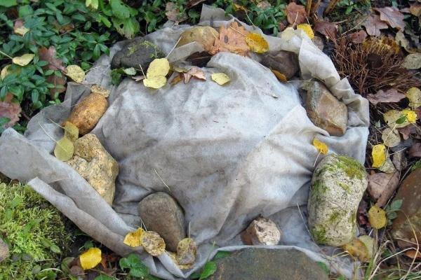 На зиму растения следует окучить, молодые кусты (до 3 лет) обязательно нужно укрыть