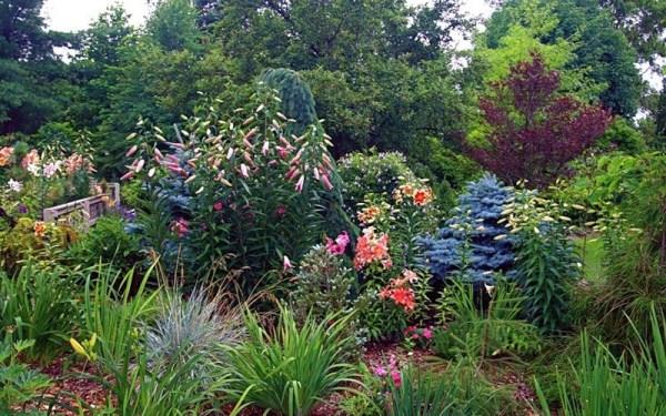 Кудреватая лилия станет отличным украшением Вашего сада