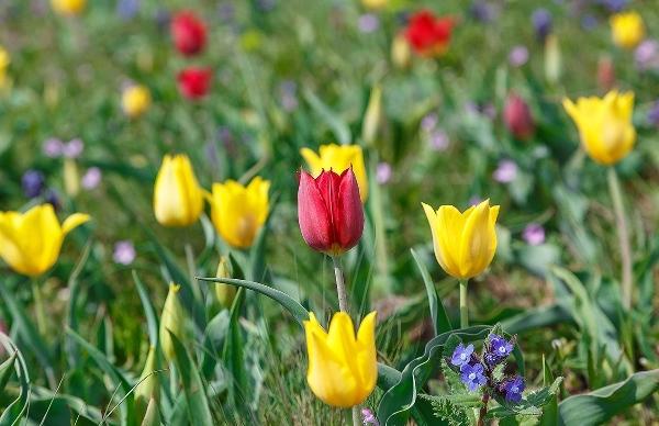 Тюльпан Шренка относится к дикорастущим видам тюльпанов с широким ареалом обитания