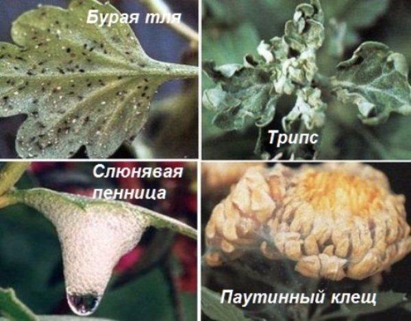 Болезни Корейской хризантемы