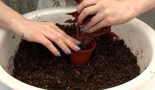 Королевская бегония предпочитает легкие питательные нейтральные почвы с pH 5,8 — 6,5