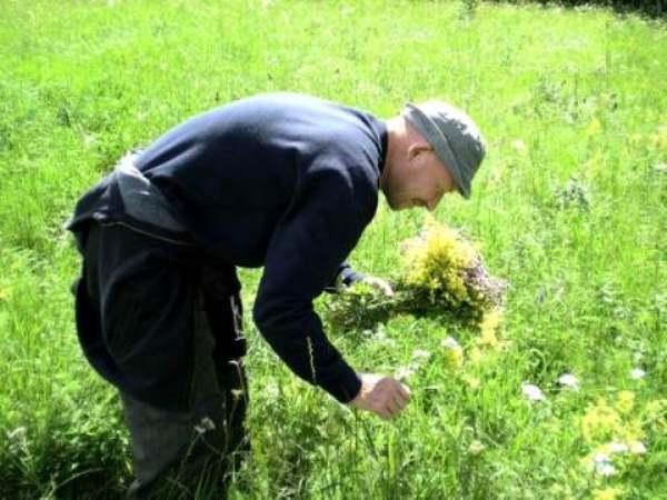 Собирают цветы ромашки в июне - августе