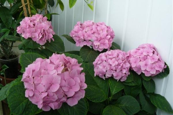 Гортензия - растение влаголюбивое, любит яркий рассеянный свет, боится сквозняков