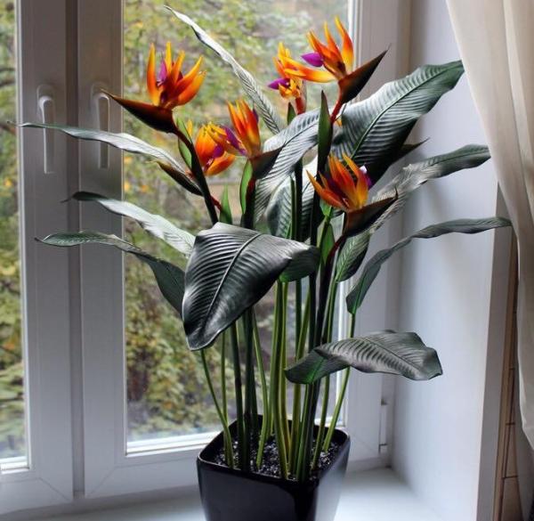 Цветок нужно поставить в просторное, светлое место, беречь от сквозняков и прямых лучей солнца