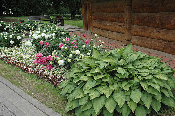 Пион как самостоятельно, так и в сочетании с другими садовыми культурами может стать замечательным украшением приусадебного участка