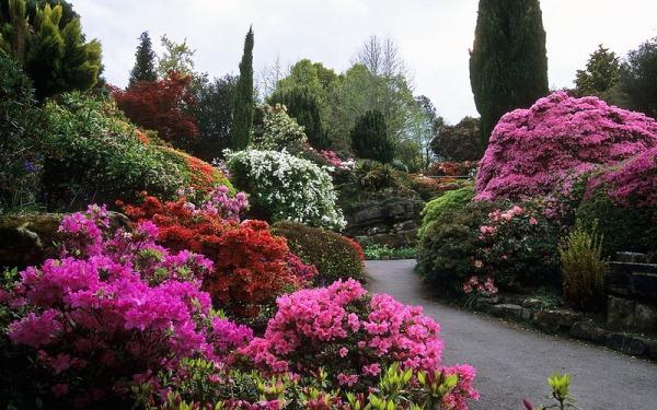 Азалия станет хорошим украшением любого сада