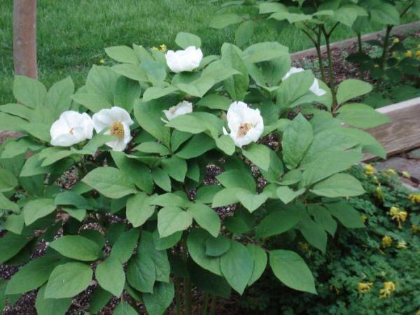 Основные точки культивирования Горного пиона – ботанические сады