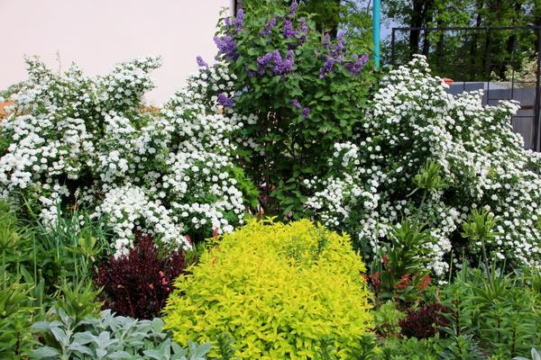 Раскидистые кусты спиреи уместны для посадки на зеленом газоне, вдоль дорожек, возле бассейнов и фонтанов