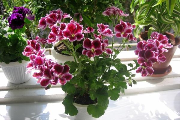 Растению требуется много света, боится осадков и сквозняков, прямых солнечных лучей