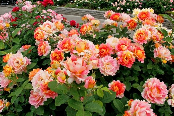 Розы шрабы - что это такое? Описание и характеристики
