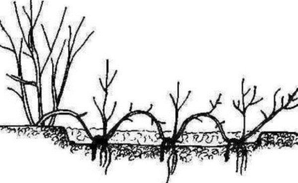 Осенью размножение отводками спиреи Вангутта дает результат – на месте надреза образуется дополнительная корневая система, и новый саженец можно отделять и высаживать