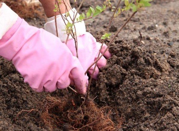 Высадку спиреи Вангутта в открытый грунт можно производить и весной, и осенью, причем делать это лучше, когда либо распускаются почки, либо полностью опадает листва