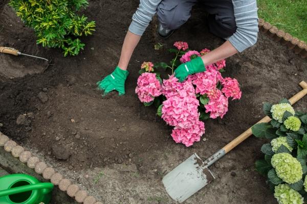 Кустарник любит кислую почву и влагу, после посадки необходимо мульчирование
