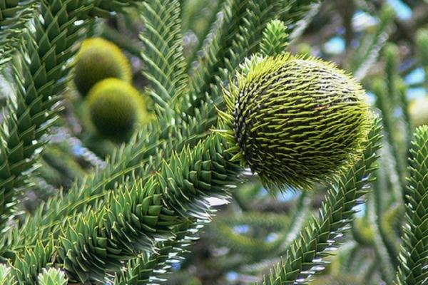 Чилийская (обезьянье дерево)