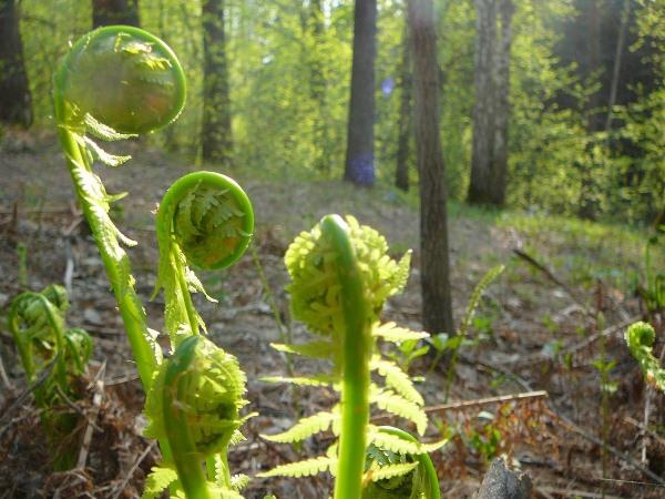 Молодые листья, а также побеги Орляка, содержащие аминокислоты и дубильные вещества, показаны при заболеваниях кишечника и селезенки