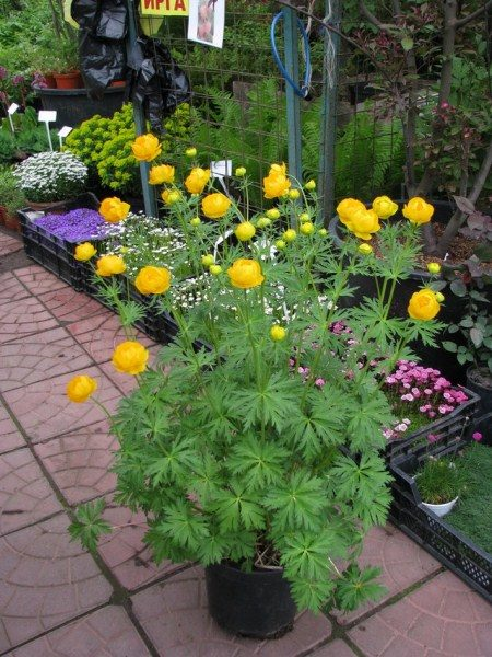 Многие садоводы для украшения сада высаживают Европейскую купальницу в горшки