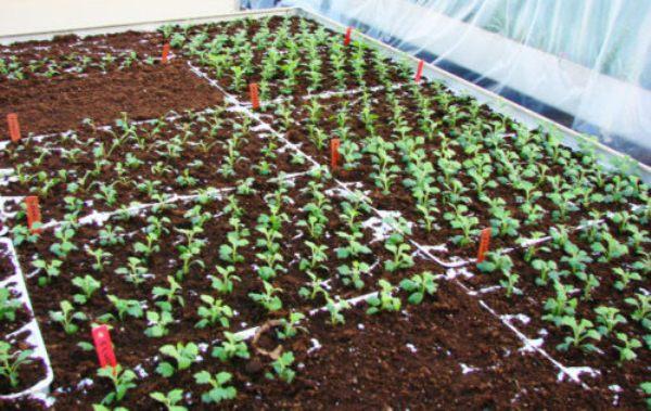 Проводится высевание семян Корейской хризантемы в закрытый грунт в феврале