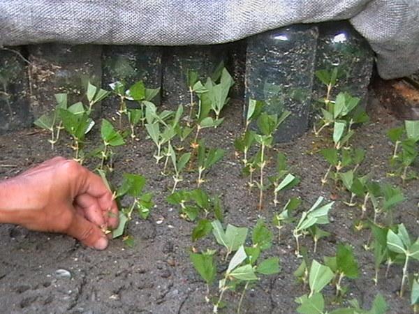 Лучше всего черенки Кизильника развиваются на смеси торфа и песка, взятых в равных количествах