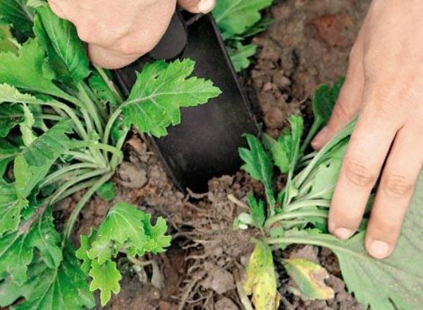 Самый простой и менее трудоемкий метод размножения Корейских хризантем - деление куста