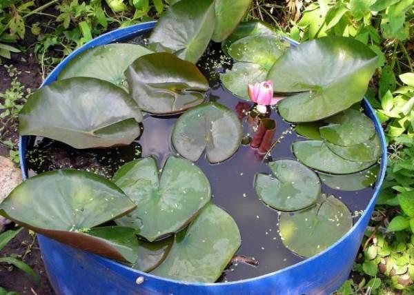 После высадки и во время выращивания лотосов пруд необходимо обязательно чистить