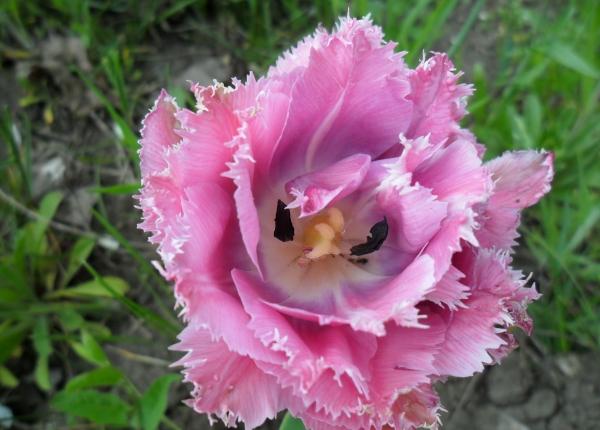 У тюльпана прямой стебель и удлиненные листья, 6 тычинок, плод - округлая коробочка с семенами