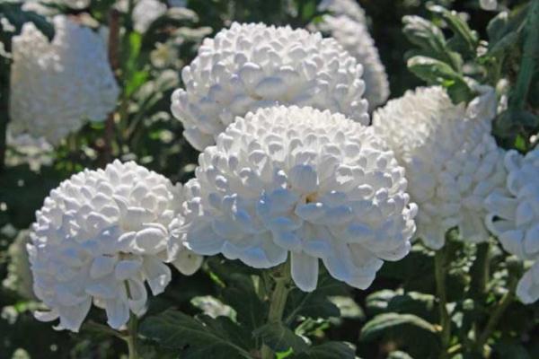 Белые хризантемы олицетворяют открытые и честные намерения