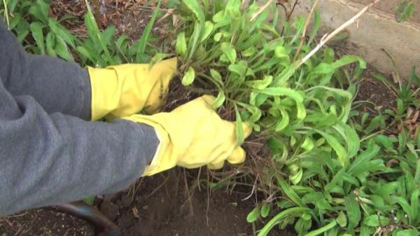Деление куста должно производиться голыми руками, чтобы не повредить корневую систему ромашки
