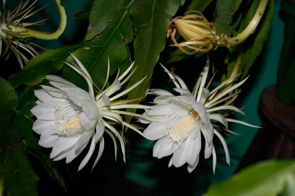 Epiphyllum Oxepetalum