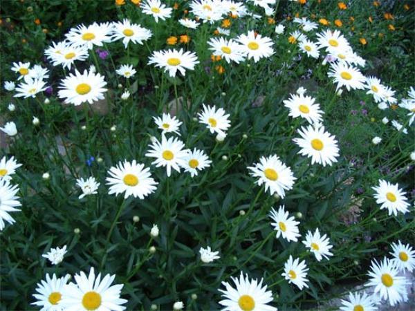 Полив Садовой ромашки должен быть регулярным и достаточно обильным