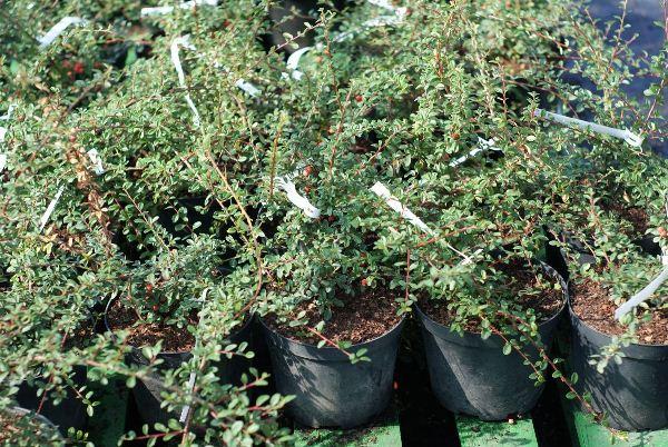 Для того чтобы получить максимально красивые кусты Кизильника, их можно удобрить