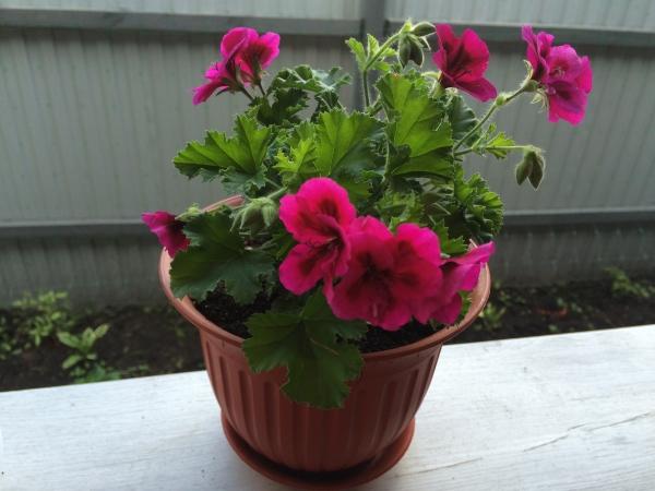 Летом растение поливают два раза в день, зимой - один раз
