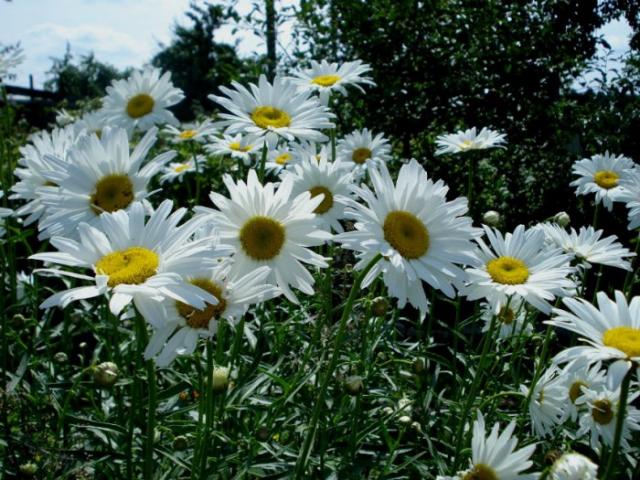 Ромашка Садовая белая
