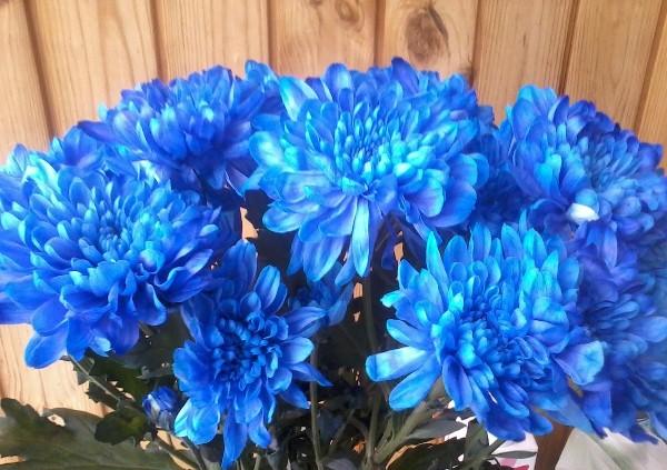 Если вы захотите подчеркнуть мудрость вашей избранницы, жены, то покупайте хризантемы синего цвета