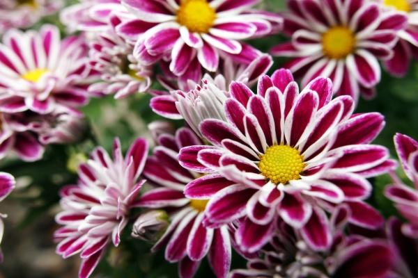 Происхождение и родина хризантем, сорта, способы выращивания