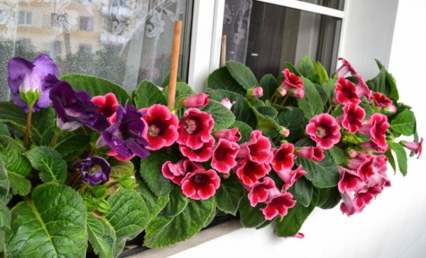 Оптимальная температура при цветении Глоксинии +20 - +28 градусов
