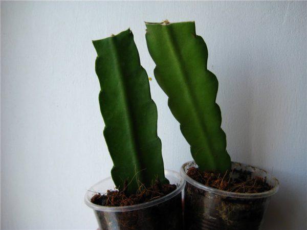 Отрезать от взрослых побегов черенки длиной 10 см, высадить в горшок, после укоренения полить