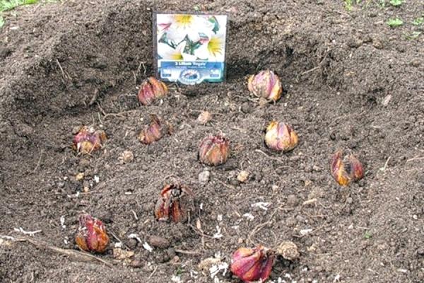 Укладывают луковицу, расправив корешки, присыпают слоем почвы, поливают и мульчируют