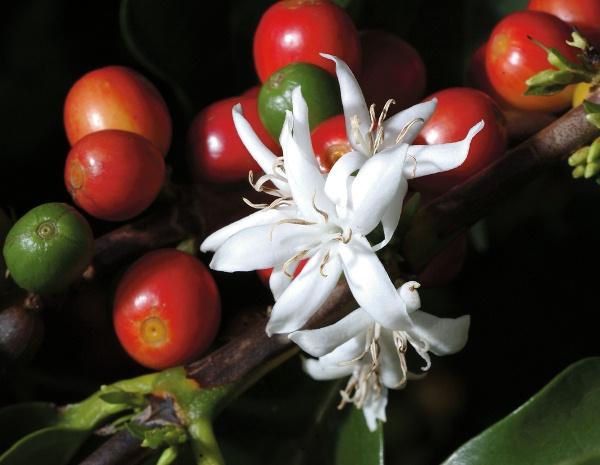 Цвет кофейного дерева Арабика