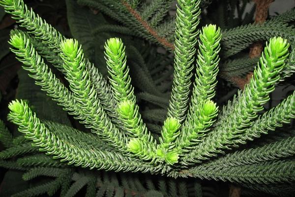 Колоновидная (Araucaria columnaris)