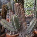 Cемейство Перескиевых кактусов