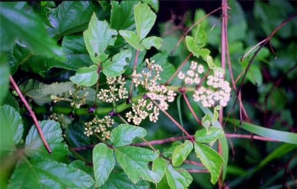 В природе Циссус цветёт охотно и даже плодоносит, в домашних условиях - это крайне редкое явление
