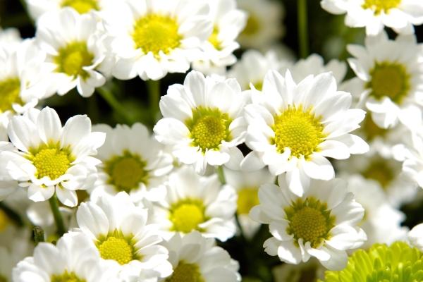Хризантемы используются в декоративных, лекарственных целей, для употребления в пищу