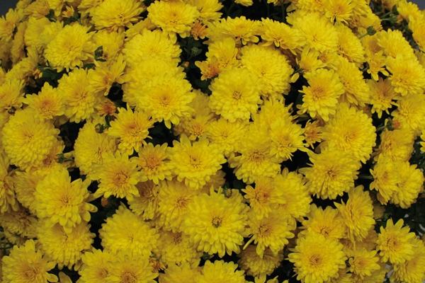 Хризантема мультифлора зимовка в открытом грунте