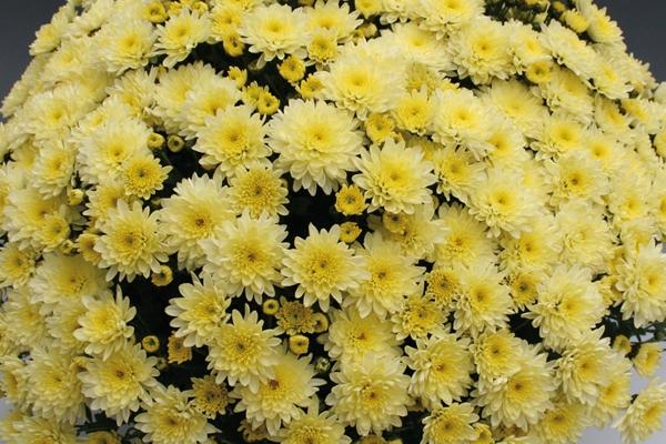 Хризантемы низкорослые шаровидные посадка и уход