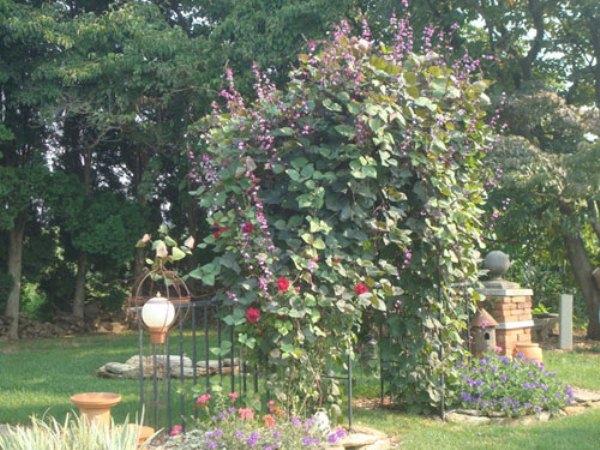 Декоративная арка из вьющейся сирени (Долихос)