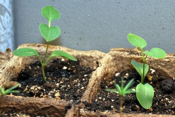 Лучшее время для посева гортензии – конец зимы
