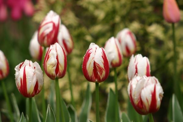Выращивание тюльпанов в теплице к 8 марта для начинающих: технология и полезные советы