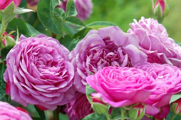 К шрабам относят все новые кустовые гибриды, не относящиеся к уже сложившимся крупным группам роз