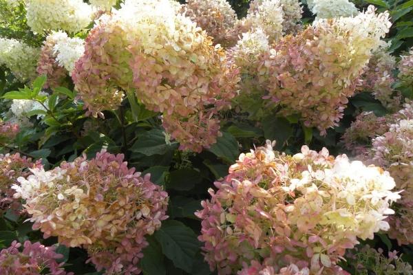 Гортензия Фантом морозостойкая, обладает красивым ароматом, растёт на одном месте несколько десятилетий