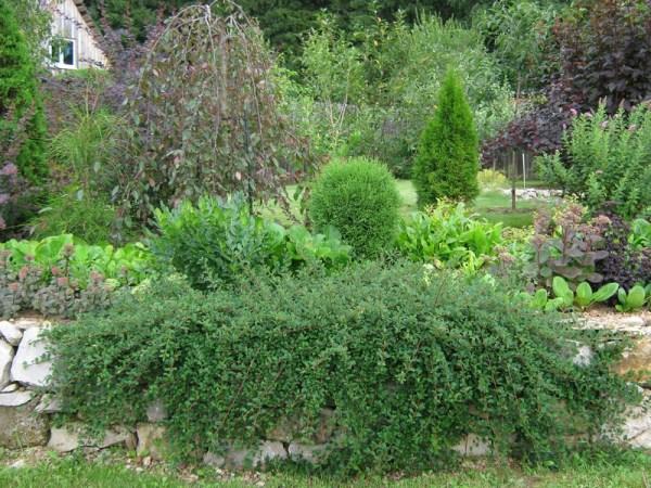 Садоводы и дизайнеры нередко создают композиции с участием Кизильника Горизонтального, карликовых представителей хвойных и цветущих кустарников
